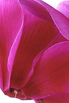 Photograph - Cyclamen II by Michael Moschogianis