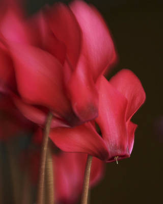 Photograph - Cyclamen On Fire by David and Carol Kelly