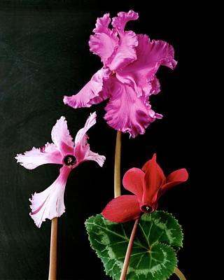 Photograph - Cyclamen Persicum by Terry Heffernan