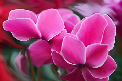 Cyclamen Purpurascens Art Print