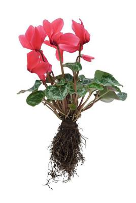 Cyclamen Photograph - Cyclamen Sp. Plant In Flower by Trevor Clifford Photography