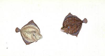Cyclops Drawing - Cyclops Flounder, Pleuronectes Cyclops, 1806 by Artokoloro