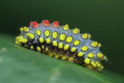 Caterpillar Wall Art - Photograph - Cyclosia Caterpillar Secreting Poison by Melvyn Yeo