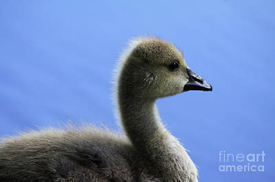 Art Print featuring the photograph Cygnet by Alyce Taylor