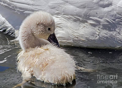 Photograph - Cygnet by Kate Brown
