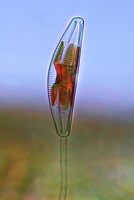 Microscopic Photograph - Cymbella Diatom by Marek Mis