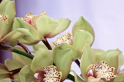 Photograph - Cymbidium Orchids  by Ann Murphy