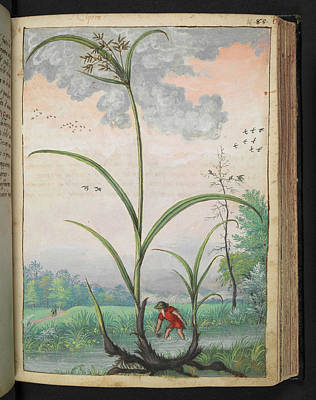 Gathering Photograph - Cyperus Esculentus by British Library