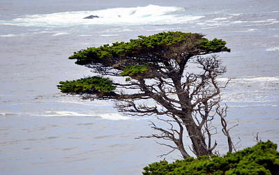 Photograph - Cypress By The Sea by AJ  Schibig