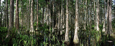 Photograph - Cypress Dome Interior. by Chris  Kusik