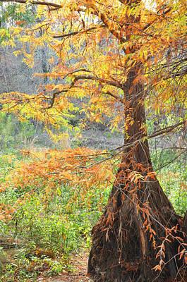 Cypress In Autumn Art Print