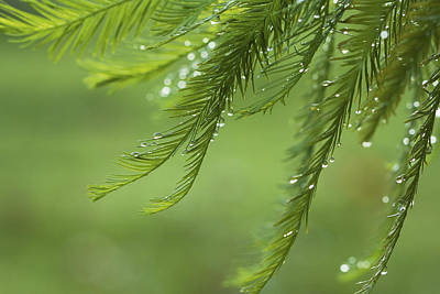 Photograph - Cypress In The Mist - Art Print by Jane Eleanor Nicholas