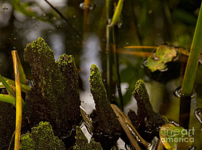 Photograph - Cypress Knees by Carol McCutcheon