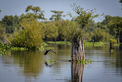 Photograph - Cypress Stump With Great Blue Heron by Gregory Daley  PPSA