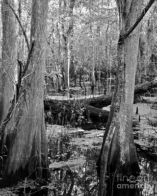 Photograph - Cypress Swamp by Carol  Bradley