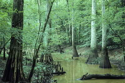 Cypress Swamp Photograph - Cypress Swamp by Larry Cameron