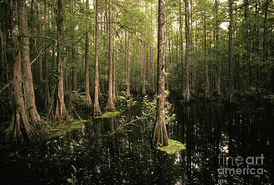 Cypress Swamp Photograph - Cypress Swamp by Ron Sanford