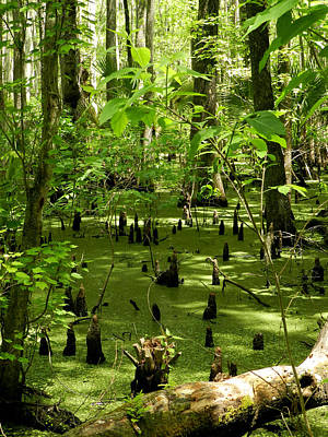 Photograph - Cypress Swamp Vertical by Grace Dillon