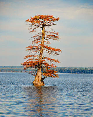 Photograph - Cypress Tree In Autumn IIi by Jai Johnson
