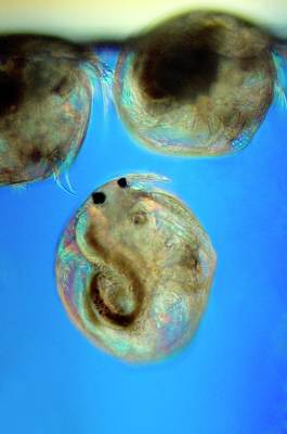 Fresh Shrimp Wall Art - Photograph - Cypris Ostracods Swimming by Sinclair Stammers/science Photo Library