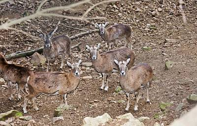 Cyprus Photograph - Cyprus Mouflons by Bob Gibbons