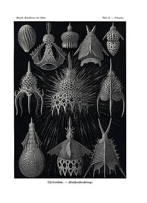 Art In Nature Drawing - Cyrtoidea by Ernst Haeckel