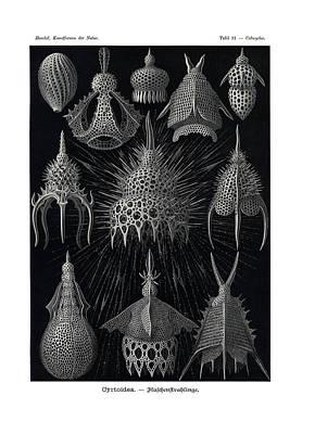 Rhinoceros Drawing - Cyrtoidea by Ernst Haeckel
