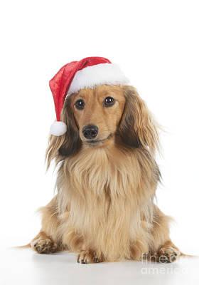 Dachshund In Christmas Hat Art Print by John Daniels