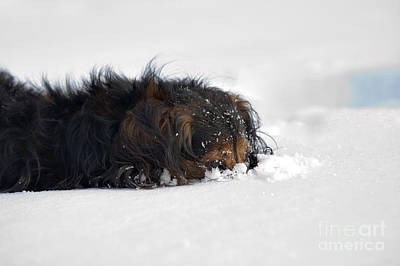 Dachshund In The Snow Art Print by Michal Boubin