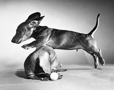 Animal Portraiture Photograph - Dachshund Puppies Playing by ME Browning