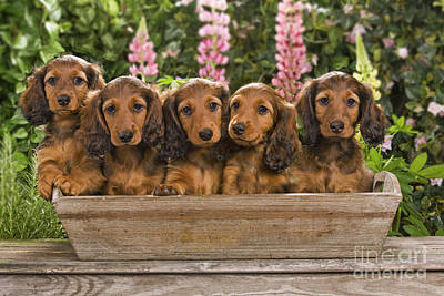 Flower Planter Photograph - Dachshunds In A Flowerpot by Jean-Michel Labat
