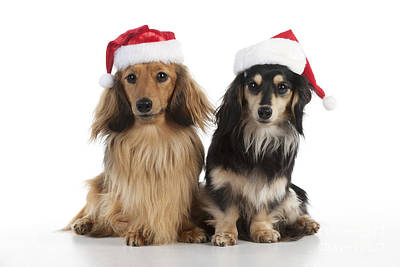 Dachshunds In Christmas Hats Art Print by John Daniels