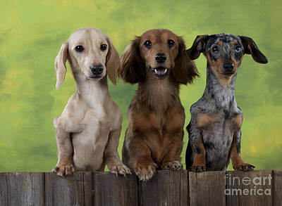 Dachshunds Looking Over Fence Art Print