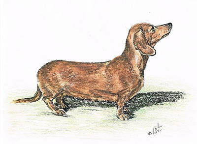 Watercolor Pet Portraits Drawing - Dachsund by Joann Renner