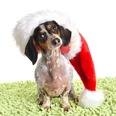 Dachsund Weiner Dog In Santa Hat Art Print