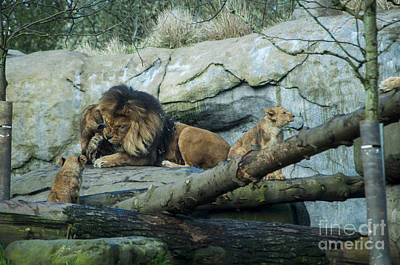 Zoo Photograph - Dad And Cubs by Mandy Judson