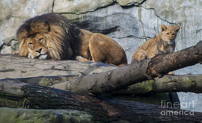Dad And Lion Cub Art Print by Mandy Judson