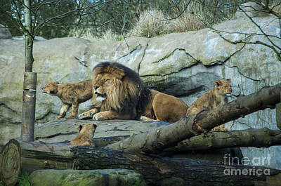Dad With Lion Cubs Print by Mandy Judson