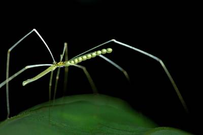 Cellar Photograph - Daddy Long-legs Spider by Melvyn Yeo