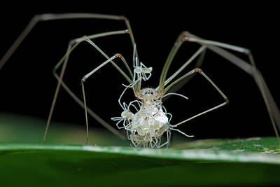 Arachnid Photograph - Daddy Long-legs Spider With Spiderlings by Melvyn Yeo