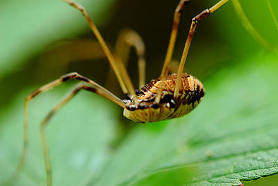 Photograph - Daddy Longlegs by Michael Eingle