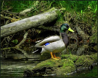 Drake Photograph - Daddy River Duck Mallard by LeeAnn McLaneGoetz McLaneGoetzStudioLLCcom