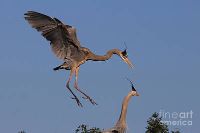 Photograph - Daddy's Home - Great Blue Heron by Meg Rousher