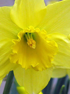Photograph - Daffodil 01 by Pamela Critchlow