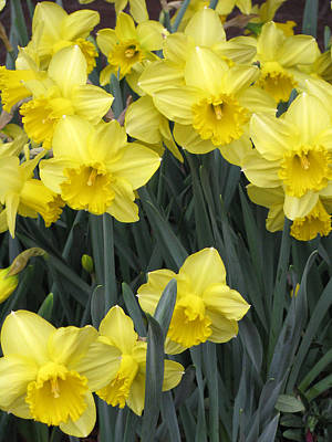 Photograph - Daffodil 05 by Pamela Critchlow
