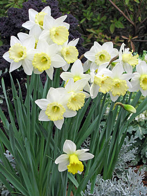 Photograph - Daffodil 09 by Pamela Critchlow
