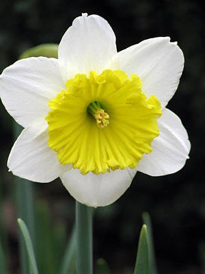 Photograph - Daffodil 11 by Pamela Critchlow