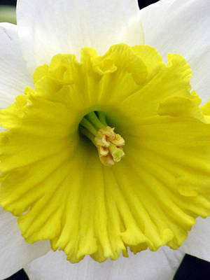 Photograph - Daffodil 13 by Pamela Critchlow