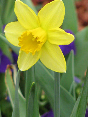 Photograph - Daffodil 15 by Pamela Critchlow
