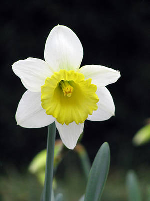 Photograph - Daffodil 17 by Pamela Critchlow
